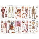 Anatomy Essentials 10 Poster Collection (Laminated) | Organs of the Body