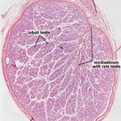 Testis - Male Reproductive System