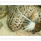 10 inch Photo. Sea cucumber (Bohadschia argus) which has ejected