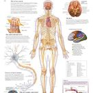 Laminated Poster: Laminated The Nervous System Educational Chart Poste