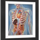 Large Framed Photo. Human body showing heart and main