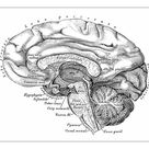 A1 Poster. Human anatomy scientific illustrations: Brain side