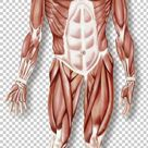 Hand Muscular System Skeletal Muscle Organ System Human Body PNG   Free Download