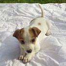 Chihuahuas For Adoption