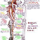 hanson's anatomy: Photo