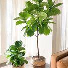 Fiddle Leaf Fig Growing Guide