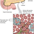 Pancreas: Anatomy, Functions, and Diseases | Medical Library