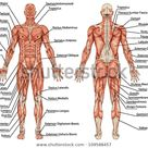 Anatomy Male Muscular System Posterior Anterior Stock Vector Royalty Free 109588457