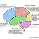 The Human Brain (Diagram) (Worksheet) | Therapist Aid