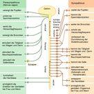Vegetatives Nervensystem – Wikipedia