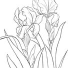 Garden German Iris or Iris Germanica coloring page | Free Printable Coloring Pages