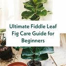 Ultimate Fiddle Leaf Fig Care Guide for Beginners