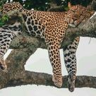 Big Cats With House Cat Energy Chilling On Trees