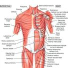 Hip Anatomy Muscles And Tendons And Human Anatomy Hip Muscle   Best Diagram Collection