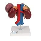 Human Kidneys Model with Rear Organs of Upper Abdomen, 3 part - 3B Smart Anatomy