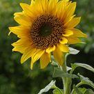 20+ sunflower black oil seeds