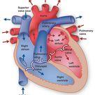 Heart Information Center: Heart Anatomy | Texas Heart Institute