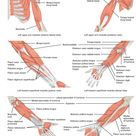Muscles of the Pectoral Girdle and Upper Limbs | Anatomy and Physiology I