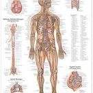 The Nervous System Anatomical Chart by