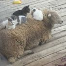 Cats on sheep