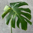 XL Variegated Monstera Deliciosa Aurea ( new leaf )