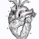 A5 Print - Anatomical Heart Linework Diagram Illustration with Labels