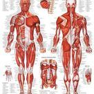 'The Muscular System Anatomical Chart' Poster    AllPosters.com