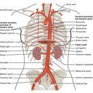20.5 Circulatory Pathways  - Anatomy and Physiology | OpenStax