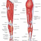 Lower Limb: Bones, Muscles, Joints & Nerves » How To Relief