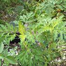 Mugwort/Dried Mugwort Herb/Whole Mugwort Leaves/Artemisia Vulgaris Herb/armoise Feuilles Plus Some Seeds