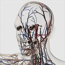 A1 Poster. Medical illustration of head arteries, veins and