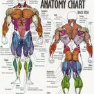 Muscles overview