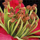 252 Piece Puzzle. Apricot flower stamens, SEM