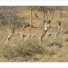 Photograph. Chital, Cheetal or Axis Deer -Axis axis-, Gir Forest National Park, Gir Sanctuary, Gujarat, India