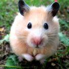 Hamsterlar