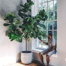 How to Properly Care for Your Fiddle Leaf Fig Care