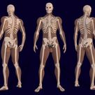 3D Male Skeleton Anatomy