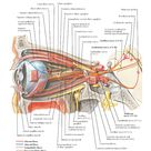 Oculomotor (CN III), Trochlear (CN IV), and Abducens (CN VI) Nerves: Schema Anatomy