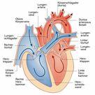 Herz und Gefäße: Aufbau und Funktion