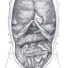 Illustrations. Fig. 1034. Gray, Henry. 1918. Anatomy of the Human Body.