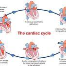 Pumping Organ-The Heart