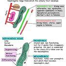 صور تشريح -  Anatomy :  Abdomen : oregans : Genital tract - Inguinal region - Pelvis - Pelvic bone and Sacrum