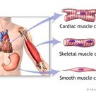 The New York Times > Health > Image > Types of Muscle Tissue