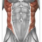 10 inch Photo. Male muscle anatomy of the abdominal wall