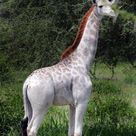 Seltene Aufnahmen: Diese Giraffe sieht ganz schön blass aus