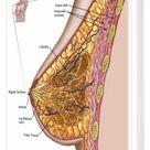 Box Canvas Print. Anatomy of the female breast