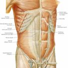 Human Anatomy and Physiology of Muscles
