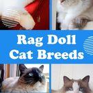 Types of Ragdoll Cats