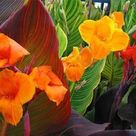 Canna Tropicanna Lily Elgin Nursery Tree Farm Phoenix Az