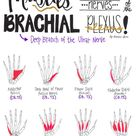 Nerve Drawings // The Brachial Plexus and its Course through the Upper Extremity — Breanna Spain Blog